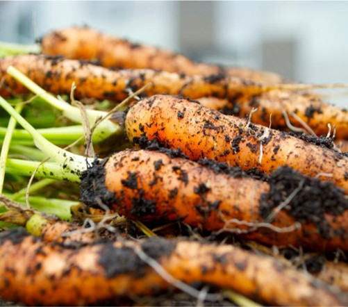 NATURES UNLIKELY TREAT:THE CARROT STORY