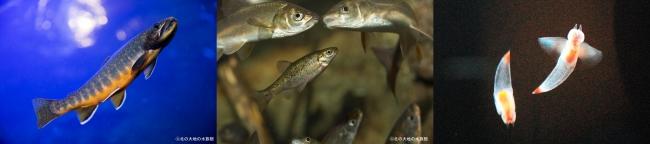 左:オショロコマ、中央:ヤチウグイ、右:クリオネ