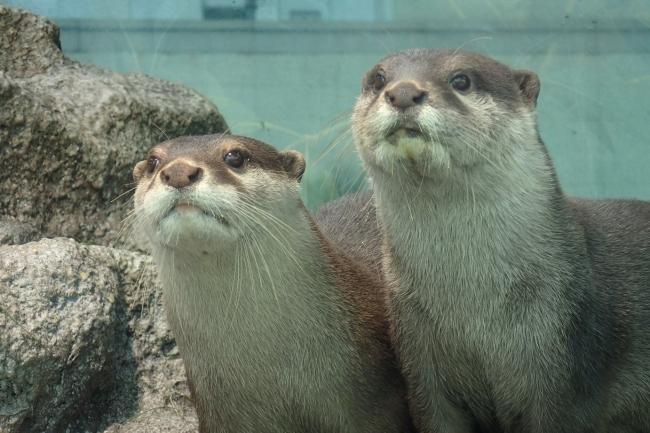 (左)ラジャ、(右)マハロ