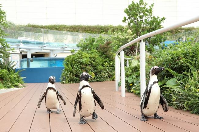 ペンギンたちの徒競走