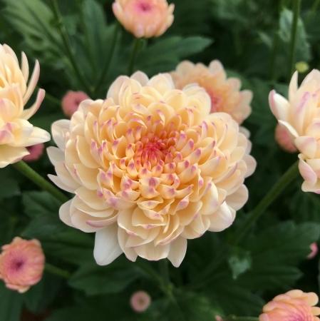 """菊の花""""マム"""""""
