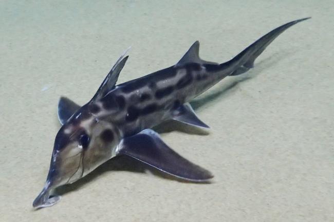 ゾウギンザメ 水族館