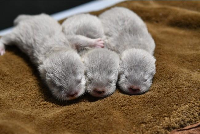 コツメカワウソの赤ちゃん(3姉妹)