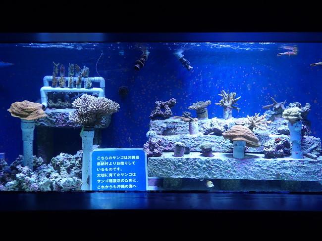 サンシャイン水族館内にある水槽「サンゴ礁の再生~恩納村の海から~」