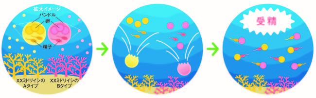 サンゴの有性生殖について