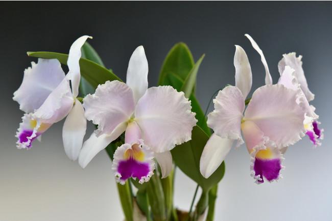 コロンビアの国花 Cattleya trianae (カトレヤ トリアナエ)