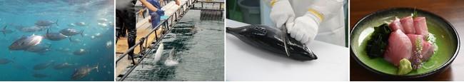 水中の「媛スマ」     生け簀での一本釣り       即締め            調理例