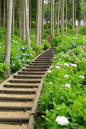 散策路のアジサイ。  129種5000株が咲く