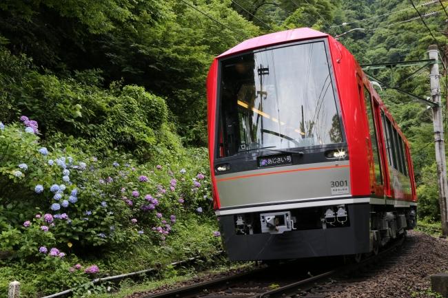 6月中旬から、  沿線にアジサイが咲く箱根登山電車。  夜間ライトアップも実施