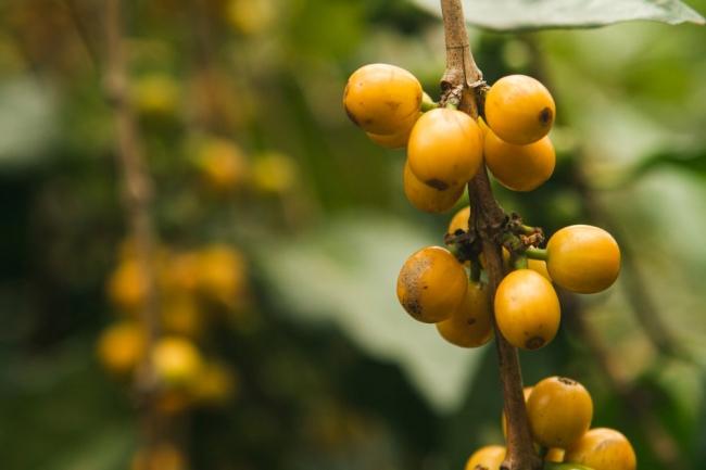 今回ご用意したハロウィンコーヒーは、  黄色く熟す特別な品種のコーヒー。  複雑な風味と甘さが特徴です。
