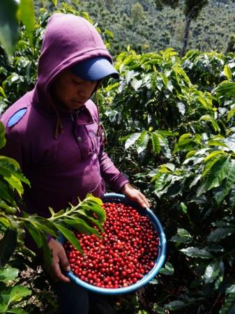 普通はコーヒーチェリーはこんな赤い果実。  この種の部分を洗って乾かすとコーヒー生豆になります。