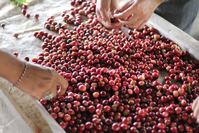 これがコーヒーチェリーと呼ばれる果実。  この種の部分がコーヒー豆になるんです。