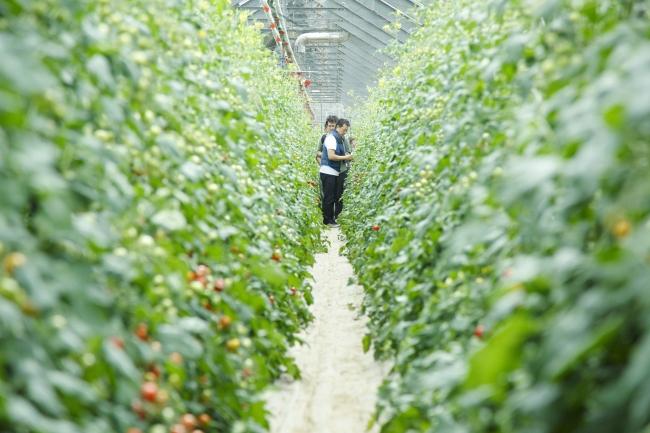 『井尻農園』の上質なトマトを前に、料理のアイデアが湧き上がる。