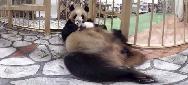 ▲赤ちゃんパンダの彩浜(さいひん)を大切そうに抱くお母さんパンダの良浜(らうひん)