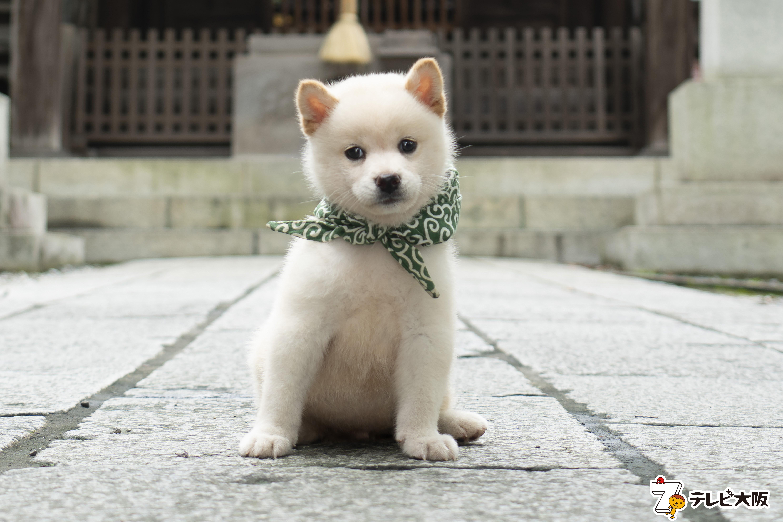 二十三代目 豆助は白柴犬 二代目和風総本家 の新マスコット犬の豆