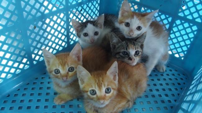 捕獲されたTNR不妊手術前の子猫たち