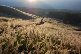 仙石原のすすき草原 (10月下旬から11月中旬は一面が黄金に!)