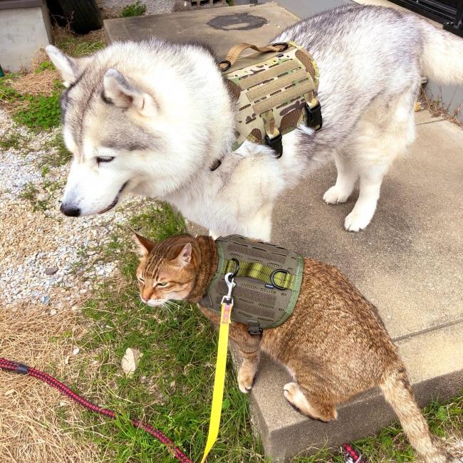 猫隊員と仲良し!シベリアンハスキーの犬隊員はM4 Tactical MOLLE Vest Laser Cut(Multicam、Mサイズ)着用