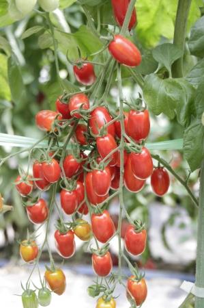 色鮮やかなミニトマト