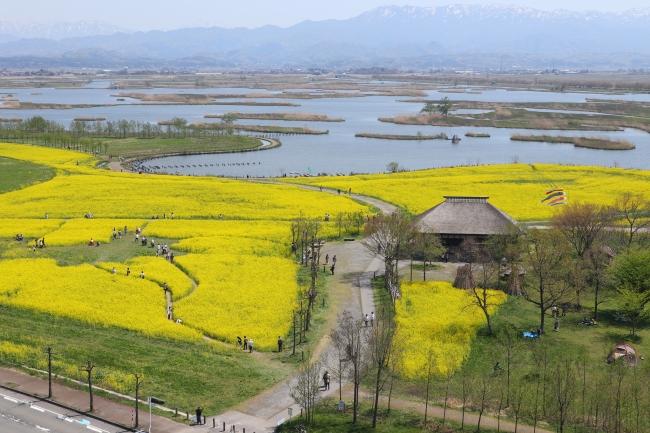 菜の花がいっぱいに咲く福島潟