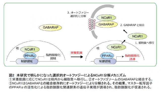 【図2】本研究で明らかになった選択的オートファジーによるNCoR1分解メカニズム