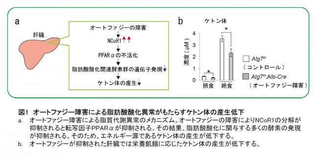 【図1】オートファジー障害による脂肪酸酸化異常がもたらすケトン体の産生低下