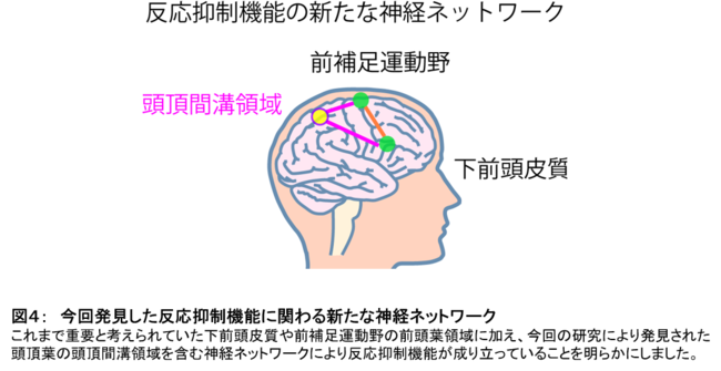 図4: 今回発見した反応抑制機能に関わる新たな神経ネットワーク