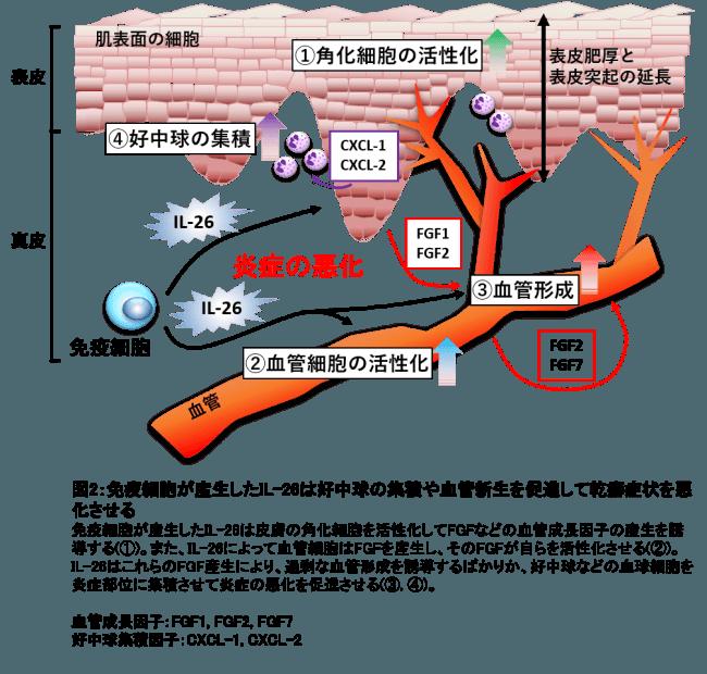 図2:免疫細胞が産生したIL-26は好中球の集積や血管新生を促進して乾癬症状を悪化させる