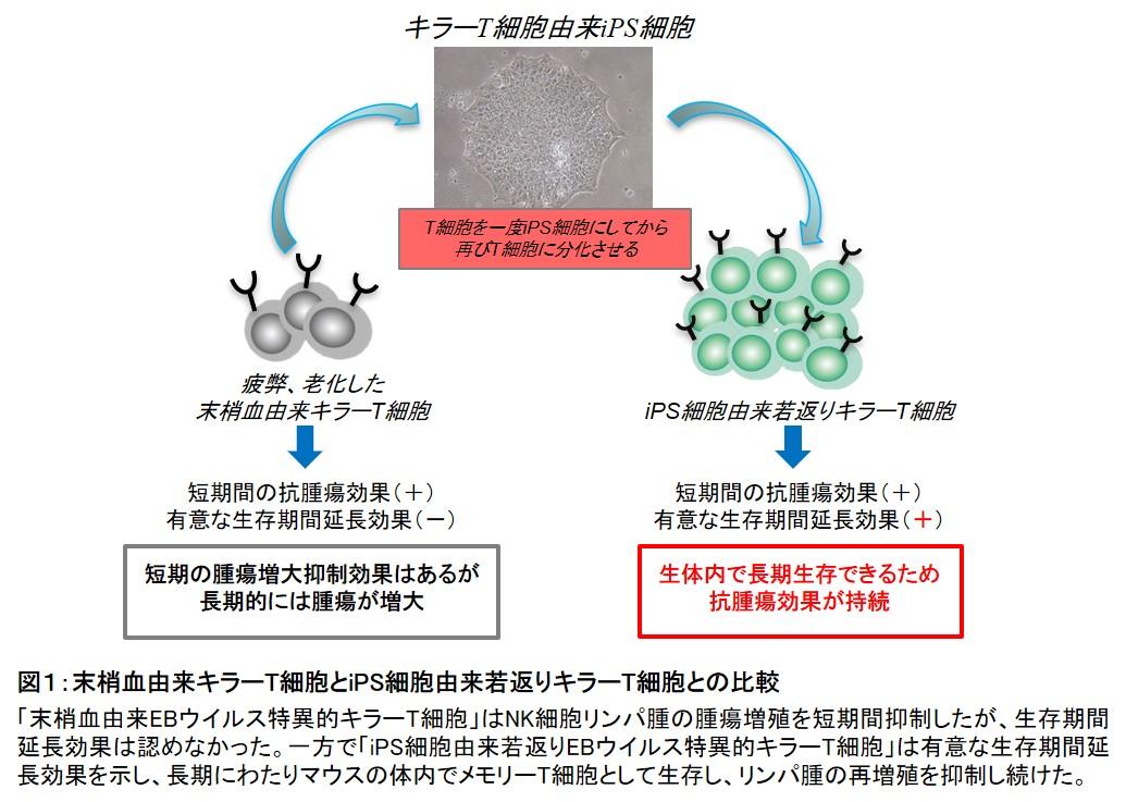 T 細胞 キラー