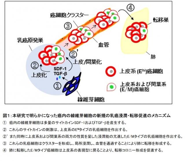 図1:本研究で明らかになった癌内の線維芽細胞の新規の乳癌浸潤・転移促進のメカニズム