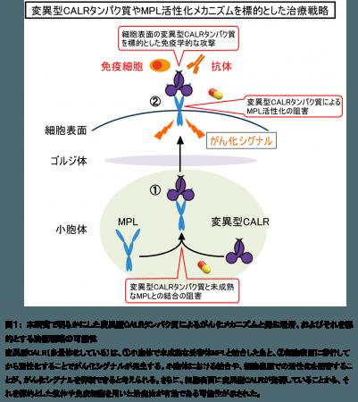 図1: 本研究で明らかにした変異型CALRタンパク質によるがん化メカニズムと発生場所、およびそれを標的とする治療戦略の可能性