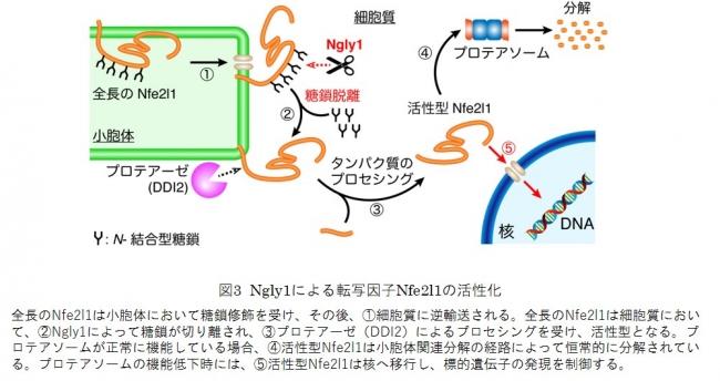 図3 Ngly1による転写因子Nfe2l1の活性化