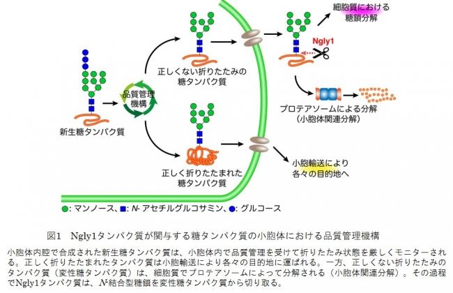 図1 Ngly1タンパク質が関与する糖タンパク質の小胞体における品質管理機構