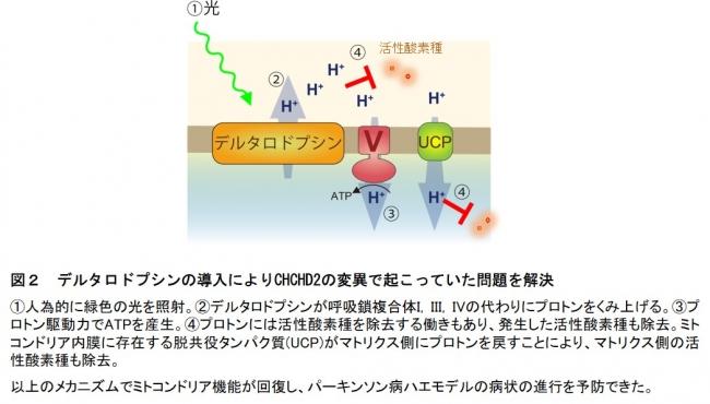 図2 デルタロドプシンの導入によりCHCHD2の変異で起こっていた問題を解決