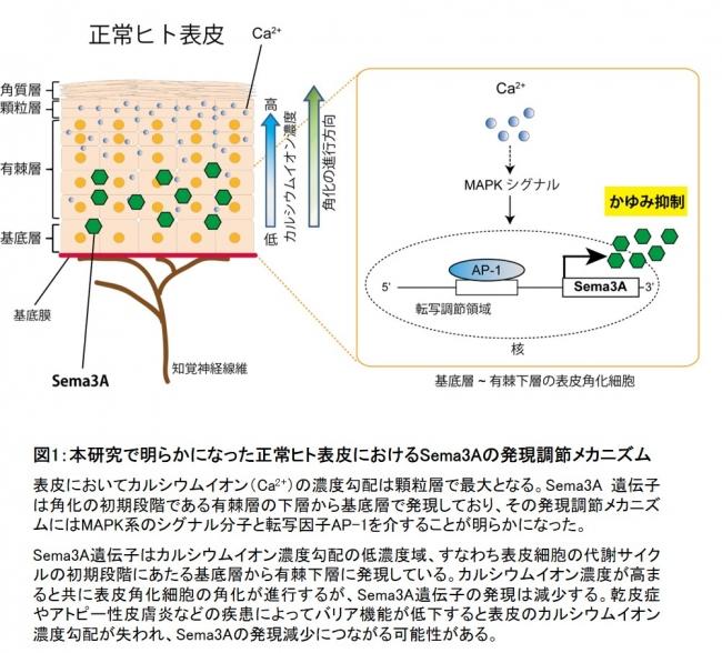 図1:本研究で明らかになった正常ヒト表皮におけるSema3Aの発現調節メカニズム