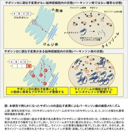 図:本研究で明らかになったサポシンDの遺伝子変異によるパーキンソン病の病態メカニズム