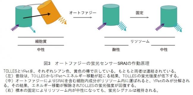 図3 オートファジーの蛍光センサーSRAIの作動原理