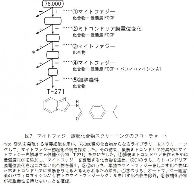 図7 マイトファジー誘起化合物スクリーニングのフローチャート
