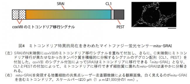 図4 ミトコンドリア特異的局在をきわめたマイトファジー蛍光センサーmito-SRAI