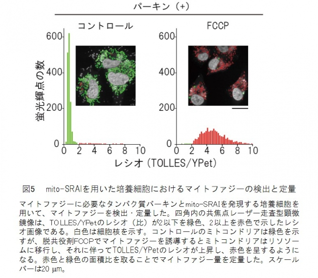 図5  mito-SRAIを用いた培養細胞におけるマイトファジーの検出と定量