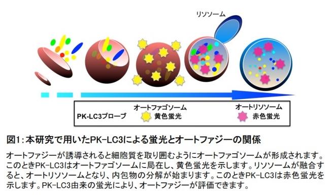 図1:本研究で用いたPK-LC3による蛍光とオートファジーの関係