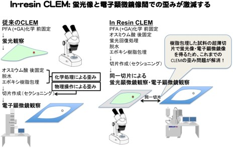 図1:In-resin CLEMにより、蛍光像と電子顕微鏡像での歪みが激減する