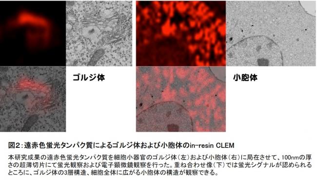 図2:遠赤色蛍光タンパク質によるゴルジ体および小胞体のin-resin CLEM