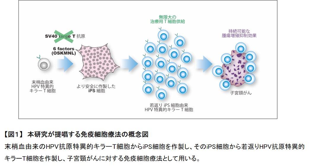 iPS細胞から子宮頸がんの増殖を抑える免疫キラーT細胞の作製に成功 ...