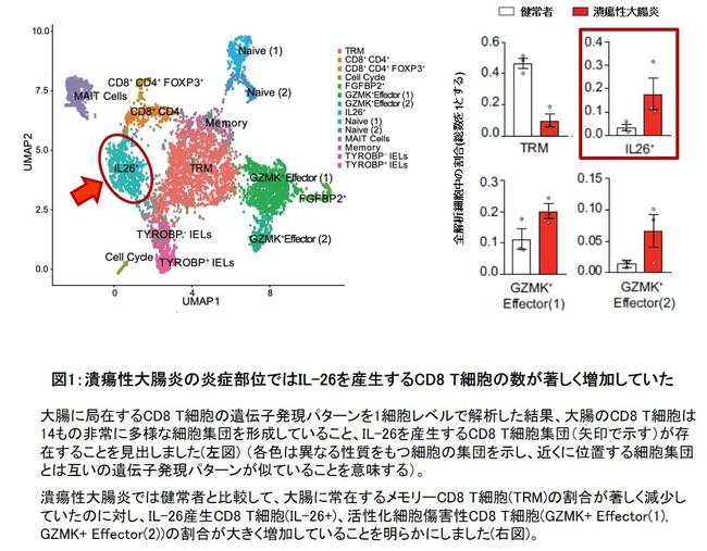 図1:潰瘍性大腸炎の炎症部位ではIL-26を産生するCD8 T細胞の数が著しく増加していた