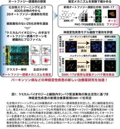 図1: ケミカルバイオロジーと細胞内タンパク質凝集物の除去活性に基づき神経変性疾患の新規治療薬候補SMK-17を同定