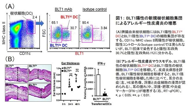 図1: BLT1陽性の新規樹状細胞集団によるアレルギー性皮膚炎の増悪