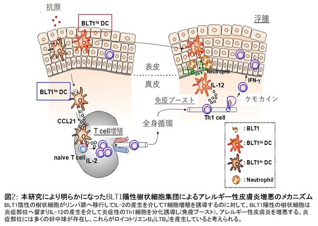図2: 本研究により明らかになったBLT1陽性樹状細胞集団によるアレルギー性皮膚炎増悪のメカニズム