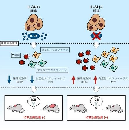 図.IL-34を基軸としたICB抵抗性獲得メカニズム