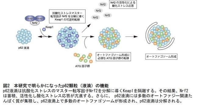 図2 本研究で明らかになったp62顆粒(液滴)の機能